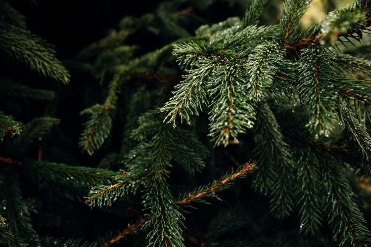 Top Tips For Choosing the Best Christmas Tree
